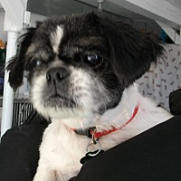 Shih Tzu Dog for adoption in Newell, Iowa - Murphy