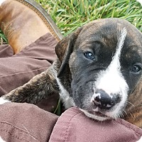 Adopt A Pet :: Truman $250 - Seneca, SC