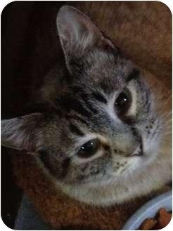 Siamese Cat for adoption in Wenatchee, Washington - Beverly