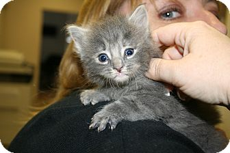Domestic Shorthair Kitten for adoption in Washington Terrace, Utah - Whispurr