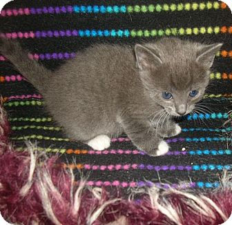 Domestic Shorthair Kitten for adoption in Yakima, Washington - Coraline Kitten #3