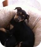 German Shepherd Dog Mix Puppy for adoption in Modesto, California - Rosie