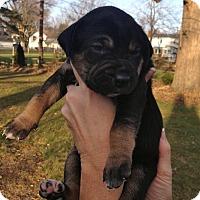 Adopt A Pet :: Gunner - Toledo, OH