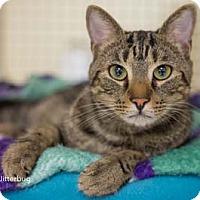 Adopt A Pet :: Jitterbug - Merrifield, VA