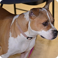 Bulldog/Boston Terrier Mix Dog for adoption in Albemarle, North Carolina - Kylie