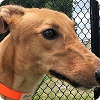 Adopt A Pet :: Hi Noon Shocker - Longwood, FL