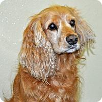 Adopt A Pet :: Duke - Port Washington, NY
