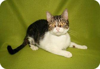 Domestic Shorthair Cat for adoption in Bradenton, Florida - Matilda