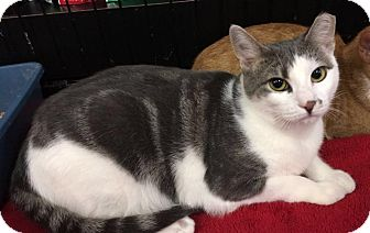 Domestic Shorthair Kitten for adoption in River Edge, New Jersey - Cindy