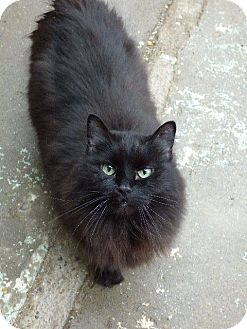 Domestic Longhair Cat for adoption in Angola, Indiana - Mishka