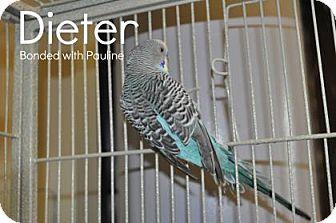 Budgie for adoption in Hamilton, Ontario - Dieter