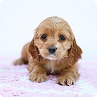 Adopt A Pet :: Lucy Lu - Auburn, CA