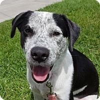 Labrador Retriever/Australian Shepherd Mix Puppy for adoption in Santa Fe, Texas - Freckles