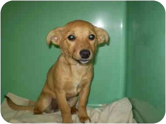 Chihuahua Mix Puppy for adoption in Westport, Connecticut - Dotty