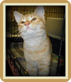 Domestic Shorthair Cat for adoption in Medford, Wisconsin - ZIPPO
