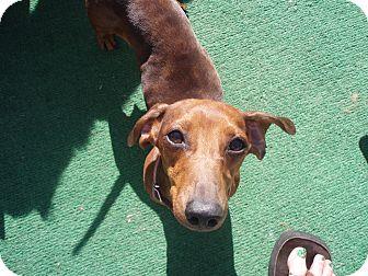 Dachshund Dog for adoption in Atascadero, California - Browinig