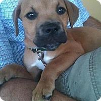 Adopt A Pet :: Pistol - Orlando, FL