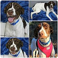 Adopt A Pet :: Dita - Forked River, NJ
