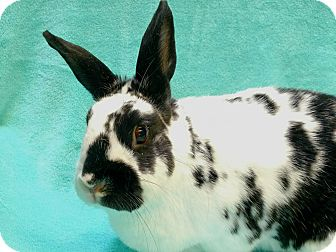 English Spot Mix for adoption in San Clemente, California - TROY
