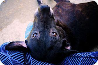 Labrador Retriever Dog for adoption in New Canaan, Connecticut - Mandi
