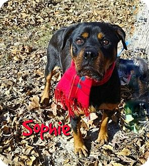 Rottweiler Mix Dog for adoption in Princeton, Kentucky - Sophie