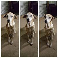 Adopt A Pet :: Lady - Pflugerville, TX