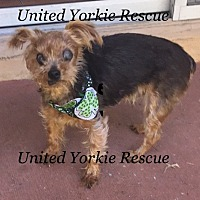 Yorkie, Yorkshire Terrier Dog for adoption in Miramar, Florida - Rocky
