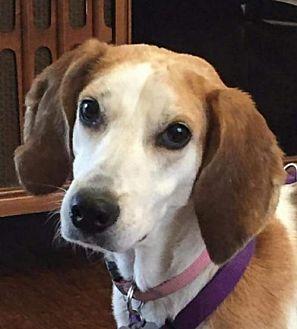 Foxhound Dog for adoption in Fairfax, Virginia - Gemma *Adopt or Foster*
