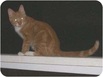 Domestic Shorthair Cat for adoption in Cocoa, Florida - Red
