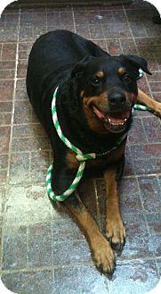 Rottweiler Dog for adoption in St. Petersburg, Florida - Bertha