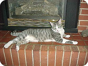Domestic Shorthair Cat for adoption in Newark, Delaware - Rocky