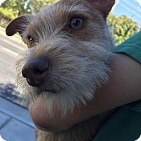Terrier (Unknown Type, Small) Mix Dog for adoption in Bakersfield, California - Phoebe