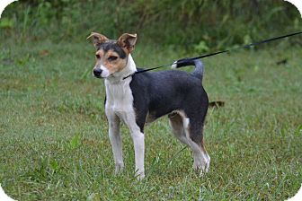 Collie Mix Puppy for adoption in Lebanon, Missouri - Ollie