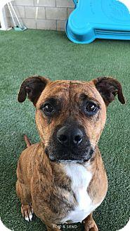 Belgian Malinois Mix Dog for adoption in Corona, California - Molly, On Death Row!