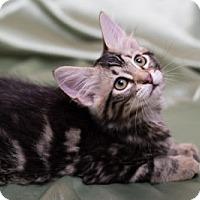 Adopt A Pet :: Mocha - Lombard, IL