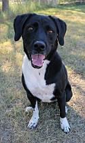 Adopt a Pet :: Bella - Tucson, AZ -  Labrador Retriever Mix