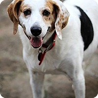 Hound (Unknown Type)/Beagle Mix Dog for adoption in Kilmarnock, Virginia - Sadie