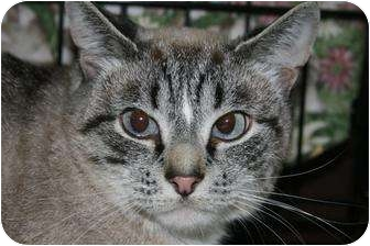 Domestic Shorthair Cat for adoption in Frederick, Maryland - Stanley