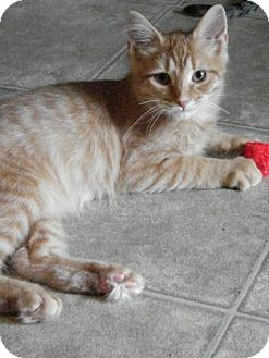 Domestic Longhair Cat for adoption in Grand Rapids, Michigan - Springsteen