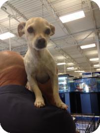 Chihuahua Mix Dog for adoption in Tucson, Arizona - Chase