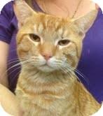 Domestic Shorthair Cat for adoption in Modesto, California - Fedyenka