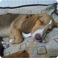 Adopt A Pet :: Fat Albert - Phoenix, AZ