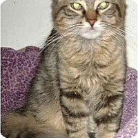 Adopt A Pet :: Stripy - Etobicoke, ON
