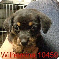 Adopt A Pet :: Wilhelmina - Greencastle, NC