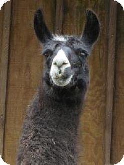 Llama for adoption in Quilcene, Washington - Rosie