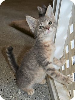 Domestic Shorthair Kitten for adoption in Michigan City, Indiana - Peter