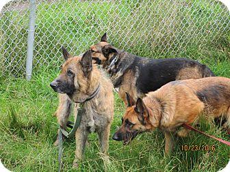 German Shepherd Dog Mix Dog for adoption in Tillamook, Oregon - Thor Sky and Nova