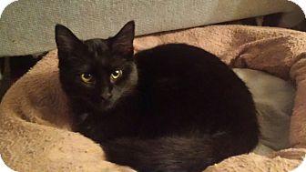 Domestic Shorthair Cat for adoption in Kalamazoo, Michigan - Toones - Chelsea