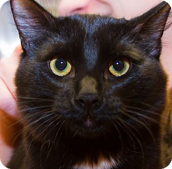 Domestic Mediumhair Kitten for adoption in Irvine, California - Rick