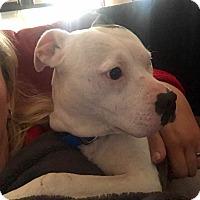 Adopt A Pet :: Kuscheln - Chesterfield, VA